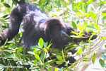 Male Black Howler Monkey feeding
