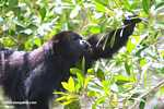 Male Black Howler Monkey howling