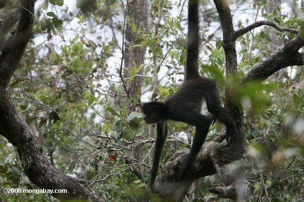 Spider monkey hanging in a tree