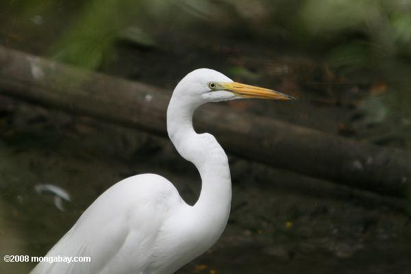 Great egret (Casmendius albus) (Local name in Belize: Gallin garza]