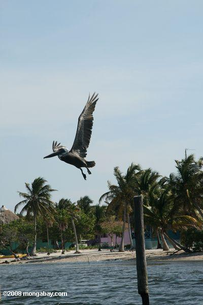 Brown pelican (Pelicanus occidentalis) taking flight