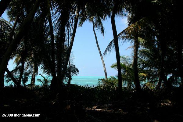 Turquoise waters seen through palm trees on Lighthouse Caye