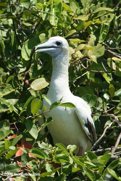 rot-footed Booby - Sula Sula
