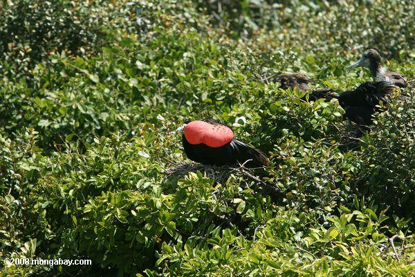 Magnificent Frigatebird inflating his red gula pouch to attract female boobies