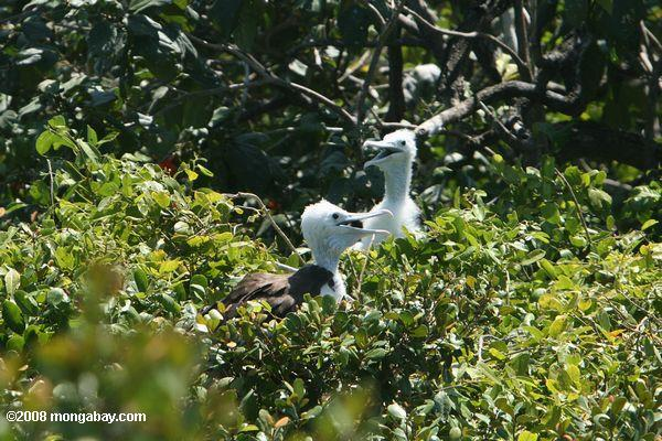 junge rot-footed Booby