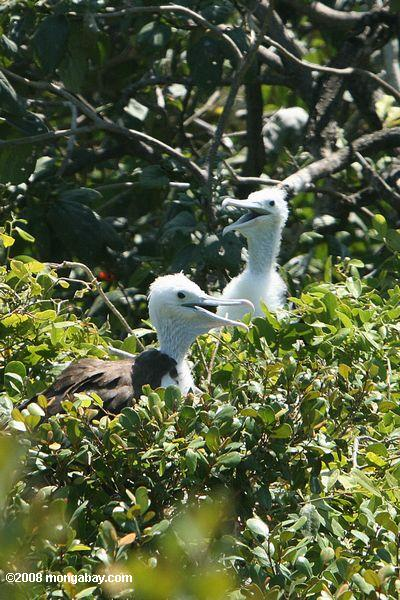 Young Red-footed Booby