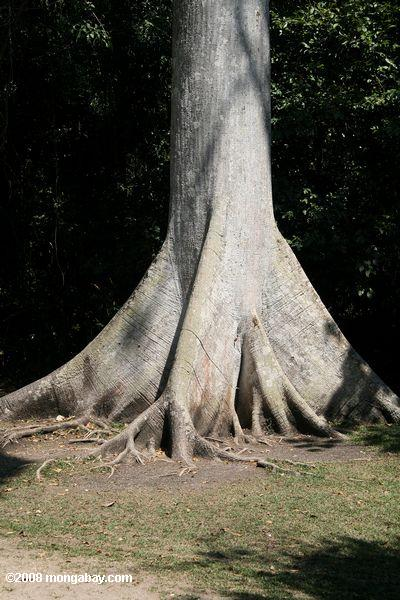 Buttress roots of a kapok tree