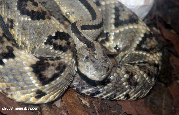 Tropical rattlesnake (Crotalus durissus) or cascavel