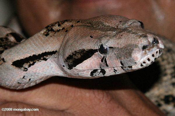 Boa constrictor (known as wowla in Belizean / local name)