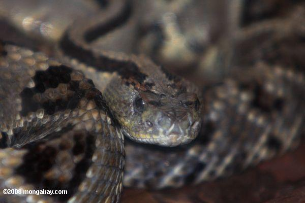 Tropical rattlesnake (Crotalus durissus) or cascabel