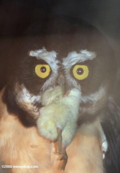 Spectacled Owl (Pulsatrix perspicillata) with a baby chicken in its mouth