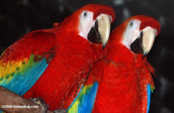 Scarlet macaws. Photo by Rhett Butler.