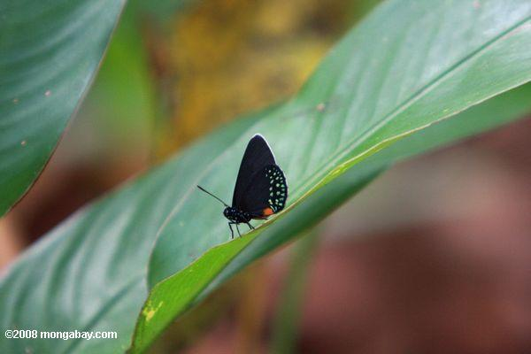 Black butterfly with green spots and an orange mark