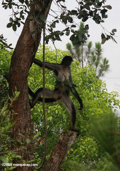 Spider monkey showing it is male