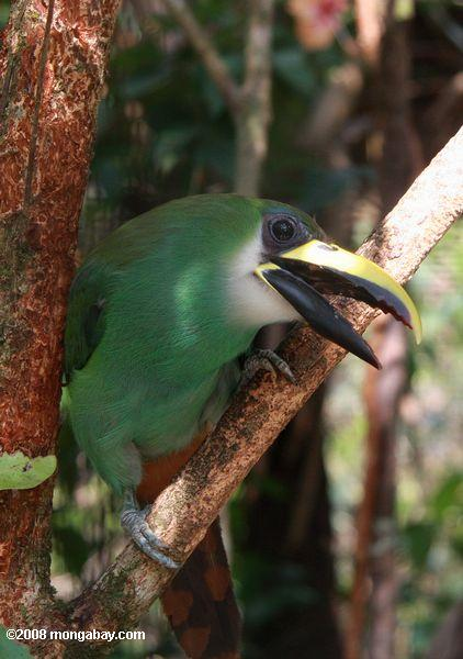An emerald toucanet (Aulacorhynchus prasinus) in Belize. Photo by: Rhett A. Butler.