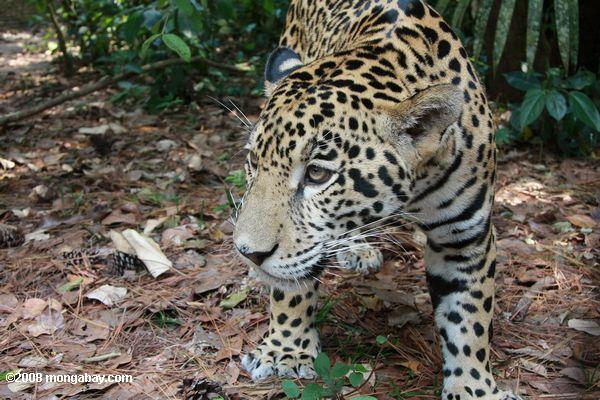 Jaguar (Panthera onca) at eye level