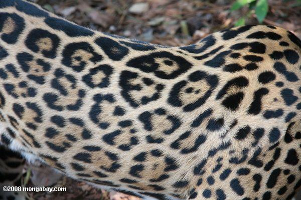 Pattern of jaguar fur