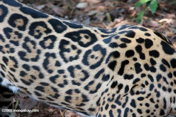 Pattern of jaguar coat