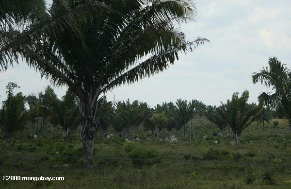 Cattle pasture on former rainforest land in Belize