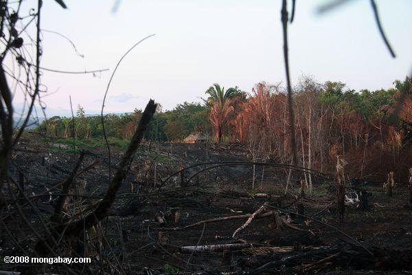 Belizean slash-and-burn
