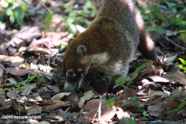 Coati rooting through leaf litter in search of food