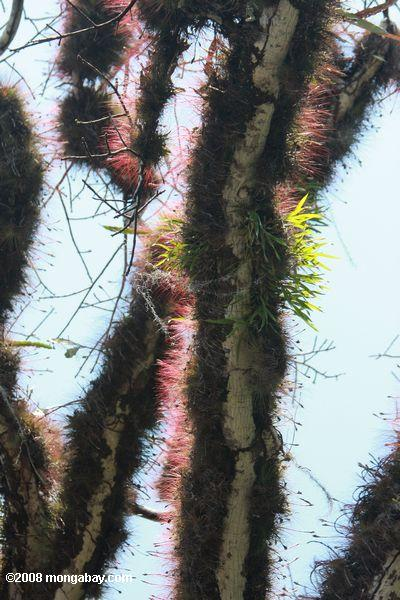 Epiphytes growing densly on the branches of a kapok tree