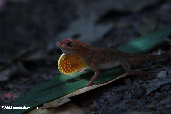 Male anole lizard showing its orange dewlap