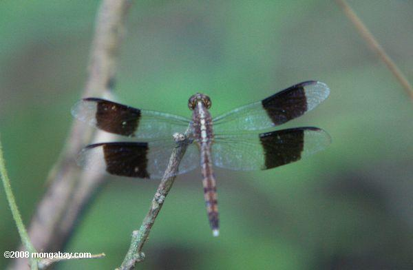 Light gray dragonfly with blank-banded wings
