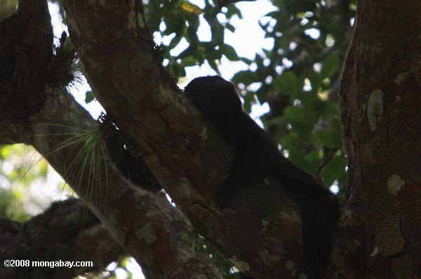 Black howler resting in a tree