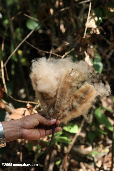 Seed-containing cotton of the Balsa tree