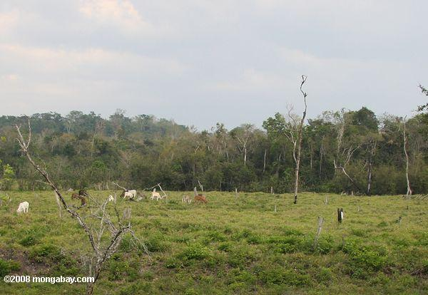 Clear-cutting for cattle pasture in Guatemala