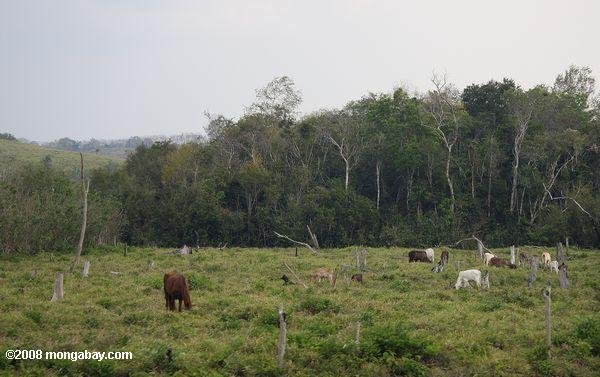 Cattle grazing on former tropical forest land