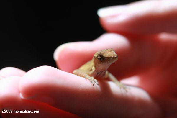 Unknown forest anole