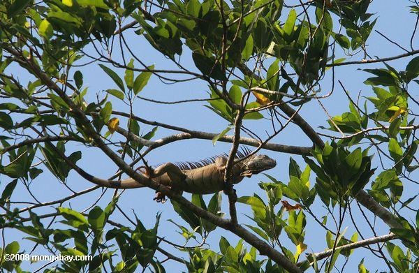 Green iguana in the canopy