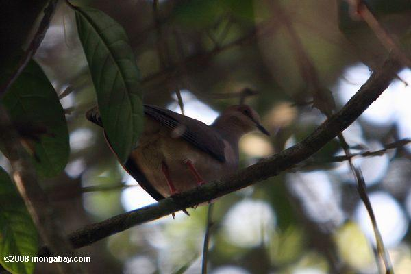 Forest dove