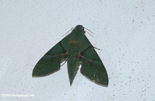 Gaudy Sphinx Moth (Dark green moth)