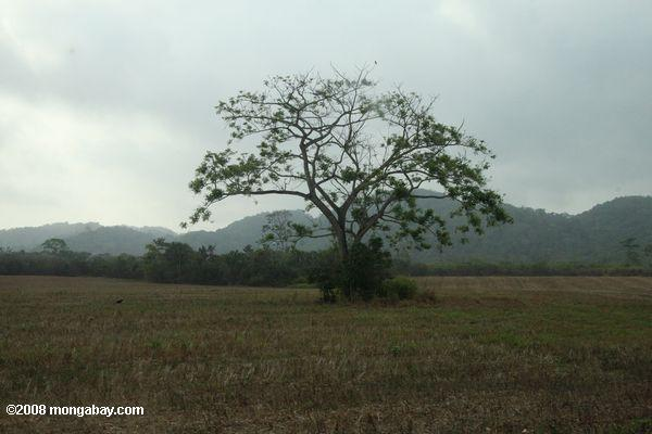 Single tree standing in a deforested field