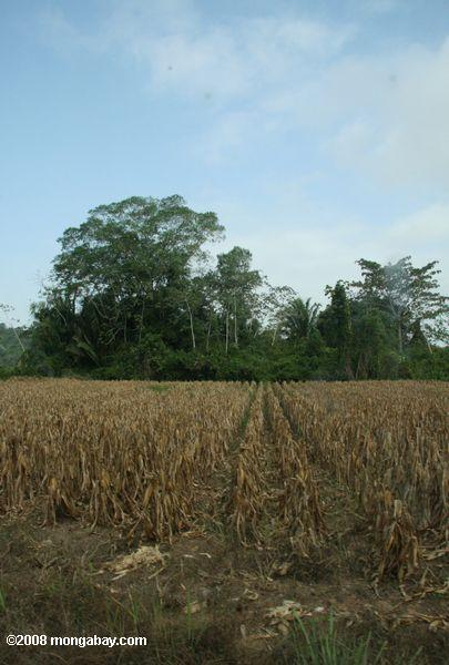 Corn planted on former rainforest land