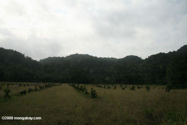 Rainforest land cleared for an orange orchard