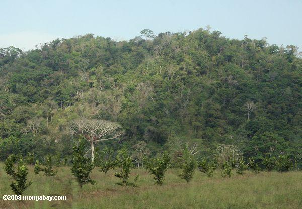 Forest land cleared for an orange orchard