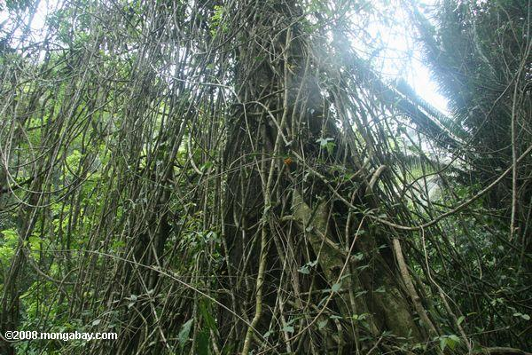 Tangle of vines