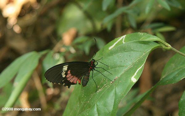 Heliconius BUTTERLY