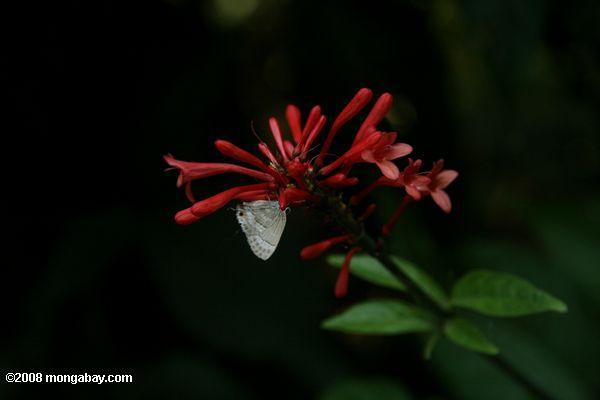 White butterfly feeding on tubular red flowers