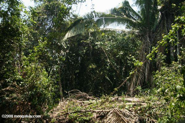 Clearing recent cut in the tropical rainforest of Belize
