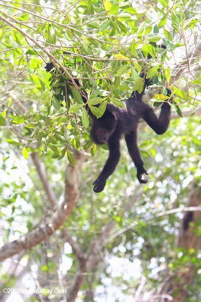 Young Howler Monkey hanging in a tree