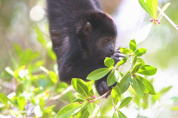 Young Black Howler Monkey (Alouatta pigra) eating berries