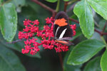 Postman butterfly, Heliconius erato or melpomene (red form) [brasil_142]