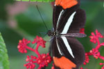 Postman butterfly, Heliconius erato or melpomene (red form)
