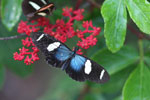 Postman butterfly, Heliconius erato or melpomene (blue form)