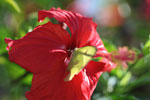 Yellow butterfly on a red hibiscus [brazil_0758]